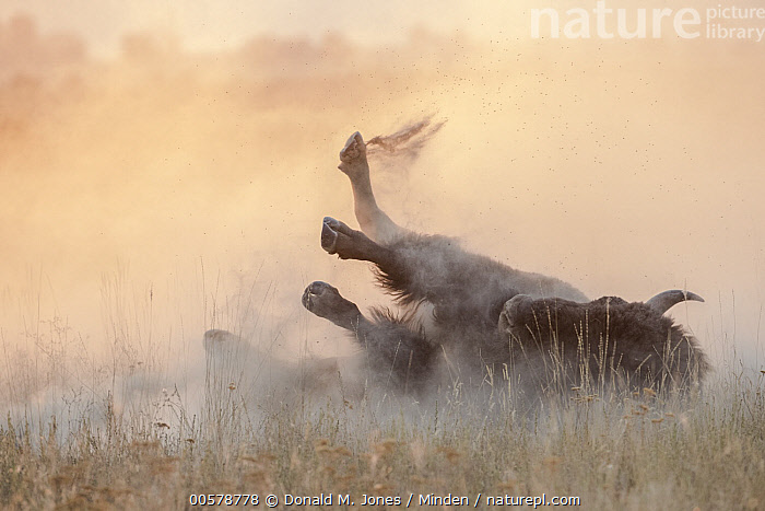 American Bison (Bison bison) dust bathing, National Bison Range, Montana  ,  Adult, American Bison, Backlighting, Bison bison, Color Image, Day, Dust, Dust Bathing, Front View, Full Length, Horizontal, Montana, National Bison Range, Nobody, One Animal, Outdoors, Photography, Wildlife,American Bison,Montana, USA  ,  Donald M. Jones