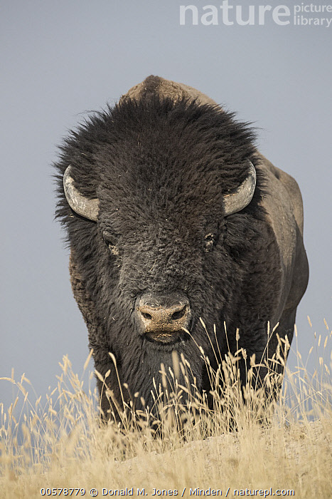American Bison (Bison bison) bull, National Bison Range, Montana  ,  Adult, American Bison, Bison bison, Bull, Color Image, Day, Front View, Full Length, Looking at Camera, Male, Montana, National Bison Range, Nobody, One Animal, Outdoors, Photography, Vertical, Wildlife,American Bison,Montana, USA  ,  Donald M. Jones