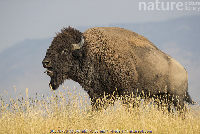 American Bison (Bison bison) bull calling, National Bison Range, Montana  ,  Adult, American Bison, Bison bison, Bull, Calling, Color Image, Day, Full Length, Horizontal, Male, Montana, National Bison Range, Nobody, One Animal, Open Mouth, Outdoors, Photography, Side View, Wildlife,American Bison,Montana, USA  ,  Donald M. Jones