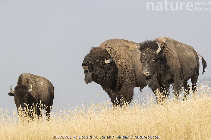 American Bison (Bison bison) bull flehming next to females, National Bison Range, Montana  ,  Adult, American Bison, Bison bison, Bull, Color Image, Day, Dimorphic, Female, Flehming, Front View, Full Length, Horizontal, Male, Montana, National Bison Range, Nobody, Outdoors, Photography, Sexual Dimorphism, Side View, Three Animals, Wildlife,American Bison,Montana, USA  ,  Donald M. Jones