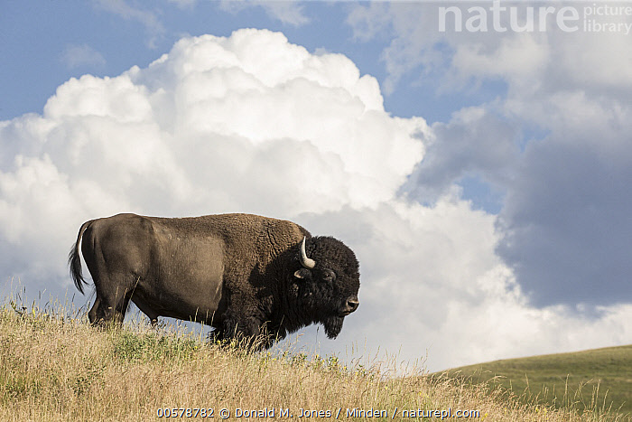 American Bison (Bison bison) bull, National Bison Range, Montana  ,  Adult, American Bison, Bison bison, Bull, Color Image, Day, Full Length, Horizontal, Male, Montana, National Bison Range, Nobody, One Animal, Outdoors, Photography, Side View, Wildlife,American Bison,Montana, USA  ,  Donald M. Jones