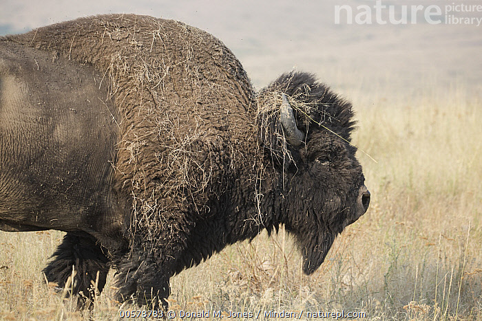 American Bison (Bison bison) with grass on horns, National Bison Range, Montana, Adult, American Bison, Bison bison, Color Image, Day, Full Length, Grass, Horizontal, Montana, National Bison Range, Nobody, One Animal, Outdoors, Photography, Side View, Wildlife,American Bison,Montana, USA, Donald M. Jones
