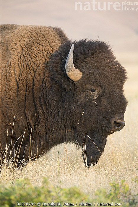 American Bison (Bison bison), National Bison Range, Montana  ,  Adult, American Bison, Bison bison, Color Image, Day, Head and Shoulders, Montana, National Bison Range, Nobody, One Animal, Outdoors, Photography, Portrait, Profile, Side View, Vertical, Wildlife,American Bison,Montana, USA  ,  Donald M. Jones
