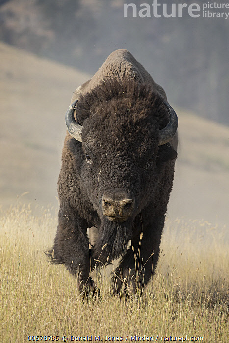 American Bison (Bison bison), National Bison Range, Montana, Adult, American Bison, Approaching, Bison bison, Color Image, Day, Front View, Full Length, Looking at Camera, Montana, National Bison Range, Nobody, One Animal, Outdoors, Photography, Vertical, Wildlife,American Bison,Montana, USA, Donald M. Jones