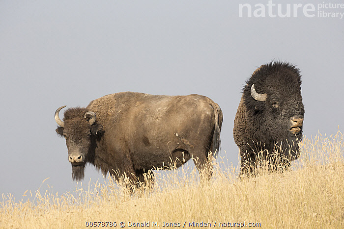 American Bison (Bison bison) female and bull, National Bison Range, Montana  ,  Adult, American Bison, Bison bison, Bull, Color Image, Day, Dimorphic, Female, Front View, Full Length, Horizontal, Looking at Camera, Male, Montana, National Bison Range, Nobody, Outdoors, Photography, Sexual Dimorphism, Side View, Two Animals, Wildlife,American Bison,Montana, USA  ,  Donald M. Jones