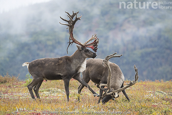 Caribou (Rangifer tarandus) bulls fighting, Denali National Park, Alaska  ,  Adult, Alaska, Bull, Caribou, Color Image, Competition, Day, Denali National Park, Fighting, Full Length, Horizontal, Male, Nobody, Outdoors, Photography, Rangifer tarandus, Shedding, Side View, Two Animals, Wildlife,Caribou,Alaska, USA  ,  Donald M. Jones