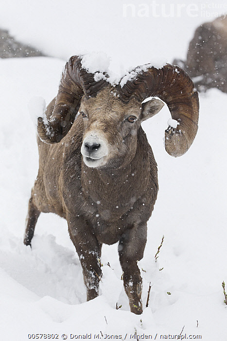 Bighorn Sheep (Ovis canadensis) ram in snowfall, western Canada, Adult, Bighorn Sheep, Canada, Color Image, Day, Front View, Full Length, Looking at Camera, Male, Nobody, One Animal, Outdoors, Ovis canadensis, Photography, Ram, Snow, Snowing, Vertical, Wildlife, Winter,Bighorn Sheep,Canada, Donald M. Jones