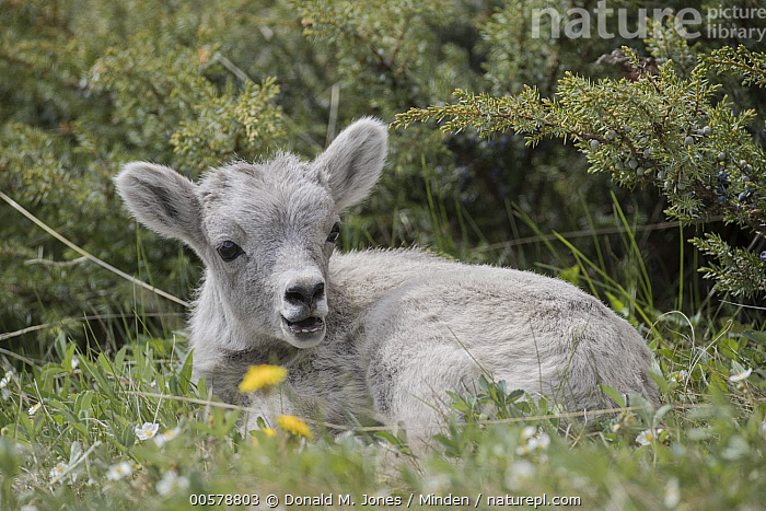 Bighorn Sheep (Ovis canadensis) lamb, western Canada  ,  Baby, Bighorn Sheep, Canada, Color Image, Cute, Day, Full Length, Horizontal, Lamb, Nobody, One Animal, Outdoors, Ovis canadensis, Photography, Side View, Wildlife,Bighorn Sheep,Canada  ,  Donald M. Jones
