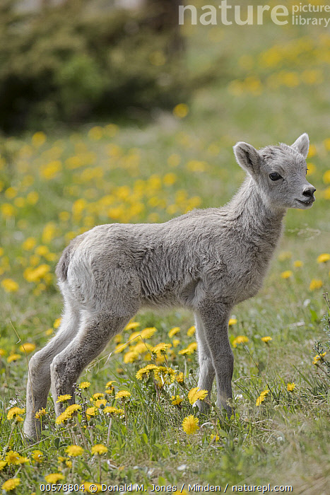 Bighorn Sheep (Ovis canadensis) lamb among dandelions, western Canada  ,  Baby, Bighorn Sheep, Canada, Color Image, Dandelion, Day, Full Length, Lamb, Nobody, One Animal, Outdoors, Ovis canadensis, Photography, Side View, Vertical, Wildlife,Bighorn Sheep,Canada  ,  Donald M. Jones