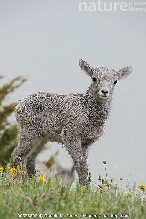 Bighorn Sheep (Ovis canadensis) lamb among dandelions, western Canada  ,  Baby, Bighorn Sheep, Canada, Color Image, Cute, Dandelion, Day, Full Length, Lamb, Looking at Camera, Nobody, One Animal, Outdoors, Ovis canadensis, Photography, Side View, Vertical, Wildlife,Bighorn Sheep,Canada  ,  Donald M. Jones