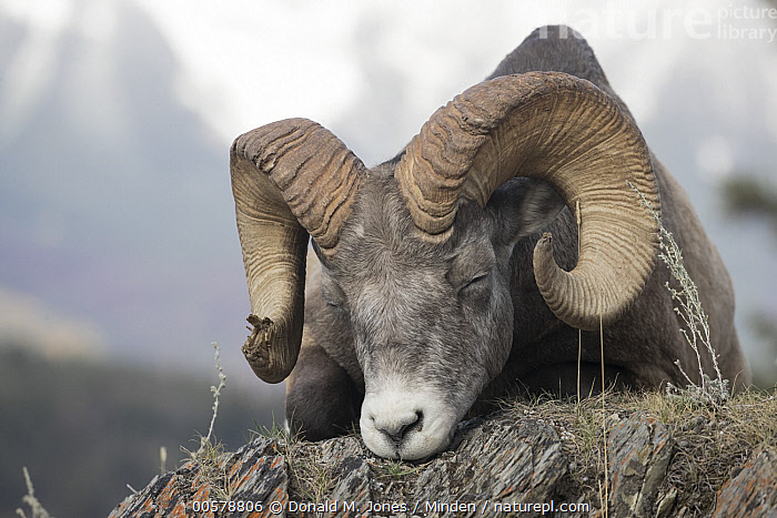 Bighorn Sheep (Ovis canadensis) ram sleeping, western Canada  ,  Adult, Bighorn Sheep, Canada, Color Image, Day, Front View, Full Length, Horizontal, Male, Nobody, One Animal, Outdoors, Ovis canadensis, Photography, Ram, Resting, Sleeping, Wildlife,Bighorn Sheep,Canada  ,  Donald M. Jones
