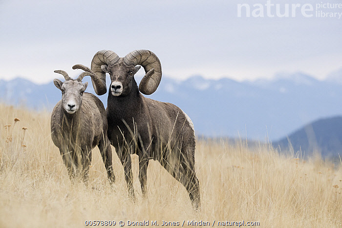 Bighorn Sheep (Ovis canadensis) ewe and ram, western Montana  ,  Adult, Bighorn Sheep, Color Image, Day, Dimorphic, Ewe, Female, Front View, Full Length, Horizontal, Looking at Camera, Male, Montana, Nobody, Outdoors, Ovis canadensis, Photography, Ram, Sexual Dimorphism, Two Animals, Wildlife,Bighorn Sheep,Montana, USA  ,  Donald M. Jones