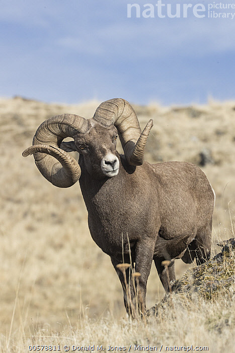 Bighorn Sheep (Ovis canadensis) ram, western Montana  ,  Adult, Bighorn Sheep, Color Image, Day, Front View, Full Length, Male, Montana, Nobody, One Animal, Outdoors, Ovis canadensis, Photography, Ram, Vertical, Wildlife,Bighorn Sheep,Montana, USA  ,  Donald M. Jones