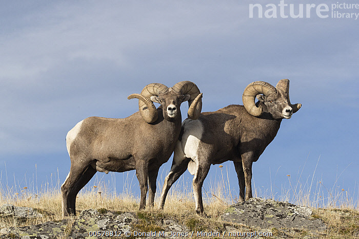 Bighorn Sheep (Ovis canadensis) rams, western Montana  ,  Adult, Bighorn Sheep, Color Image, Day, Full Length, Horizontal, Looking at Camera, Male, Montana, Nobody, Outdoors, Ovis canadensis, Photography, Ram, Side View, Two Animals, Wildlife,Bighorn Sheep,Montana, USA  ,  Donald M. Jones