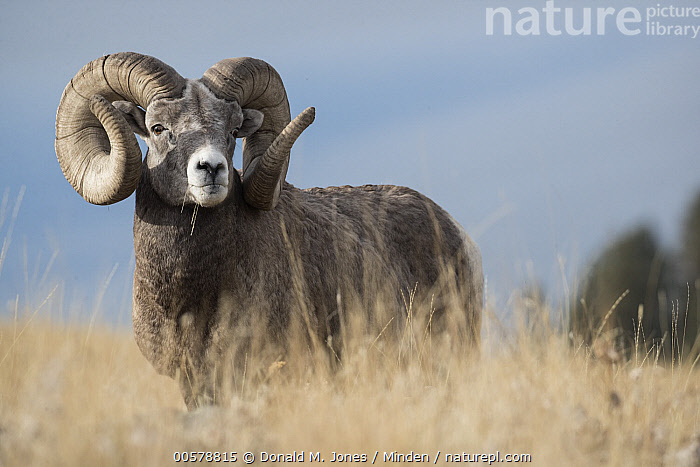 Bighorn Sheep (Ovis canadensis) ram, western Montana, Adult, Bighorn Sheep, Color Image, Day, Full Length, Horizontal, Looking at Camera, Male, Montana, Nobody, One Animal, Outdoors, Ovis canadensis, Photography, Ram, Side View, Wildlife,Bighorn Sheep,Montana, USA, Donald M. Jones