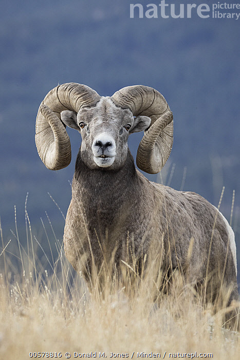 Bighorn Sheep (Ovis canadensis) ram, western Montana, Adult, Bighorn Sheep, Color Image, Day, Front View, Looking at Camera, Male, Montana, Nobody, One Animal, Outdoors, Ovis canadensis, Photography, Ram, Three Quarter Length, Vertical, Wildlife,Bighorn Sheep,Montana, USA, Donald M. Jones