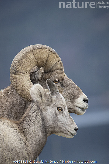 Bighorn Sheep (Ovis canadensis) ewe and ram, western Montana  ,  Adult, Bighorn Sheep, Color Image, Day, Dimorphic, Ewe, Female, Head and Shoulders, Male, Montana, Nobody, Outdoors, Ovis canadensis, Photography, Portrait, Profile, Ram, Sexual Dimorphism, Side View, Two Animals, Vertical, Wildlife,Bighorn Sheep,Montana, USA  ,  Donald M. Jones