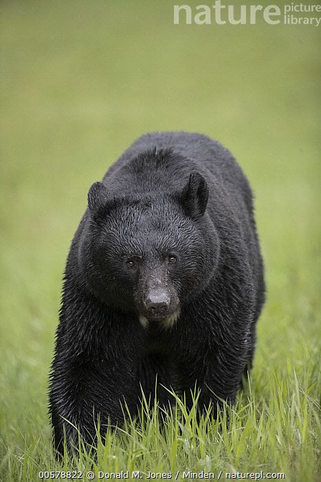 Black Bear (Ursus americanus) in spring, western Canada  ,  Adult, Black Bear, Canada, Color Image, Day, Front View, Full Length, Looking at Camera, Nobody, One Animal, Outdoors, Photography, Spring, Ursus americanus, Vertical, Wildlife,Black Bear,Canada  ,  Donald M. Jones