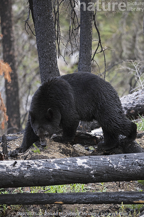 Black Bear (Ursus americanus) foraging in burnt forest, western Canada  ,  Adult, Black Bear, Burnt, Canada, Color Image, Day, Foraging, Full Length, Nobody, One Animal, Outdoors, Photography, Scar, Side View, Ursus americanus, Vertical, Wildlife,Black Bear,Canada  ,  Donald M. Jones