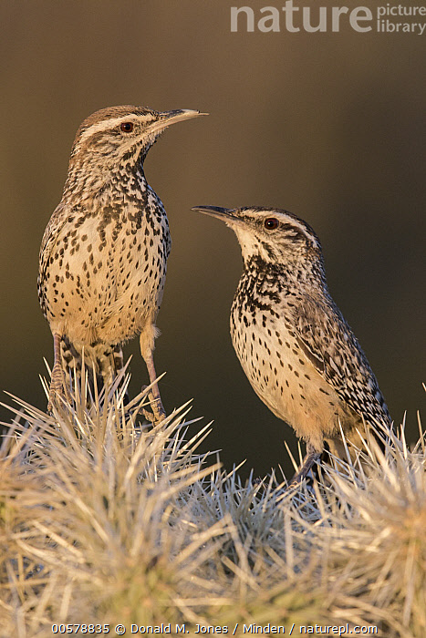 Cactus Wren (Campylorhynchus brunneicapillus) pair, southwestern Arizona  ,  Adult, Arizona, Cactus, Cactus Wren, Campylorhynchus brunneicapillus, Color Image, Day, Facing, Front View, Full Length, Nobody, Outdoors, Photography, Side View, Songbird, Two Animals, Vertical, Wildlife,Cactus Wren,Arizona, USA  ,  Donald M. Jones