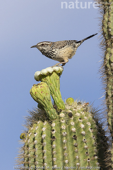 Cactus Wren (Campylorhynchus brunneicapillus) perching on cactus flower, southwestern Arizona, Adult, Arizona, Cactus, Cactus Wren, Campylorhynchus brunneicapillus, Color Image, Day, Flower, Full Length, Nobody, One Animal, Outdoors, Photography, Side View, Songbird, Vertical, Wildlife,Cactus Wren,Arizona, USA, Donald M. Jones
