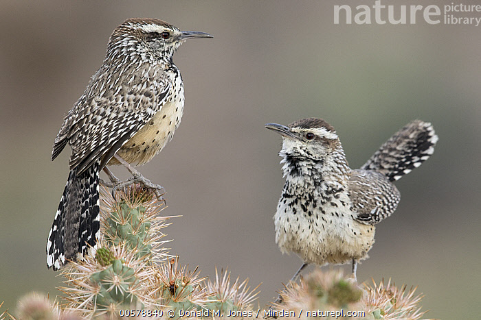 Cactus Wren (Campylorhynchus brunneicapillus) pair with one calling, southwestern Arizona  ,  Adult, Arizona, Cactus, Cactus Wren, Calling, Campylorhynchus brunneicapillus, Color Image, Day, Full Length, Horizontal, Nobody, Open Mouth, Outdoors, Photography, Side View, Singing, Songbird, Two Animals, Wildlife,Cactus Wren,Arizona, USA  ,  Donald M. Jones