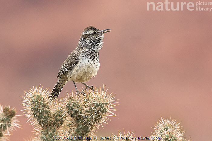 Cactus Wren (Campylorhynchus brunneicapillus) calling, southwestern Arizona  ,  Adult, Arizona, Cactus, Cactus Wren, Calling, Campylorhynchus brunneicapillus, Color Image, Day, Full Length, Horizontal, Nobody, One Animal, Open Mouth, Outdoors, Photography, Side View, Singing, Songbird, Wildlife,Cactus Wren,Arizona, USA  ,  Donald M. Jones