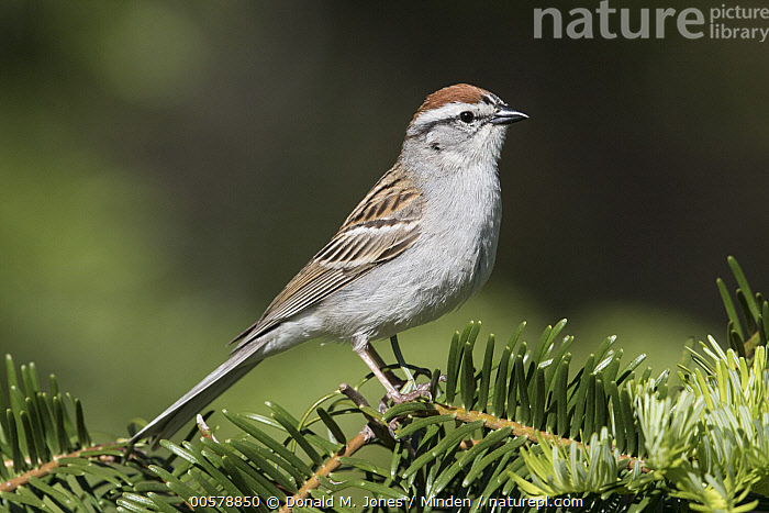 Chipping Sparrow (Spizella passerina), Troy, Montana  ,  Adult, Chipping Sparrow, Color Image, Day, Full Length, Horizontal, Montana, Nobody, One Animal, Outdoors, Photography, Side View, Songbird, Spizella passerina, Troy, Wildlife,Chipping Sparrow,Montana, USA  ,  Donald M. Jones