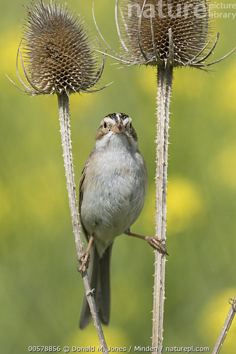Clay-colored Sparrow (Spizella pallida) balancing between thistles, Mission Valley, Montana, Adult, Balancing, Clay-colored Sparrow, Color Image, Day, Front View, Full Length, Looking at Camera, Mission Valley, Montana, Nobody, One Animal, Outdoors, Photography, Songbird, Spizella pallida, Thistle, Vertical, Wildlife,Clay-colored Sparrow,Montana, USA, Donald M. Jones