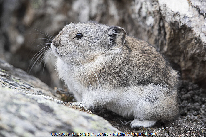 Collared Pika (Ochotona collaris), Denali National Park, Alaska  ,  Adult, Alaska, Collared Pika, Color Image, Day, Denali National Park, Full Length, Horizontal, Nobody, Ochotona collaris, One Animal, Outdoors, Photography, Side View, Wildlife,Collared Pika,Alaska, USA  ,  Donald M. Jones