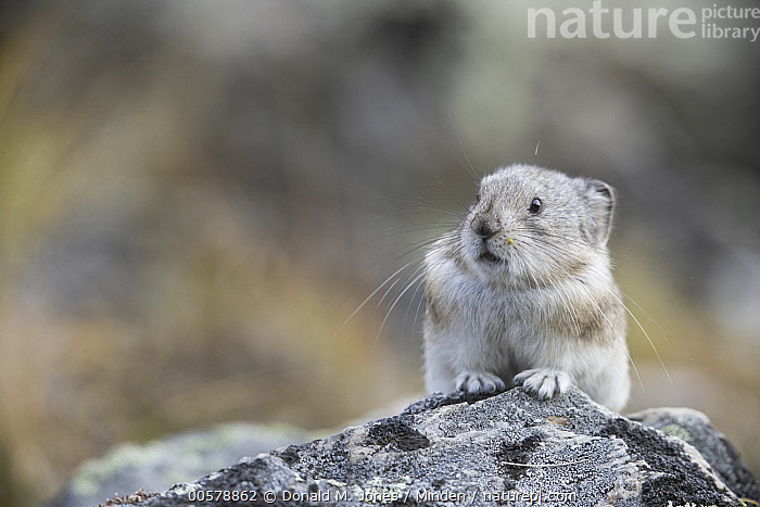 Collared Pika (Ochotona collaris), Denali National Park, Alaska  ,  Adult, Alaska, Collared Pika, Color Image, Day, Denali National Park, Front View, Horizontal, Nobody, Ochotona collaris, One Animal, Outdoors, Photography, Waist Up, Wildlife,Collared Pika,Alaska, USA  ,  Donald M. Jones