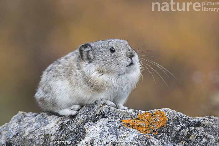 Collared Pika (Ochotona collaris), North America  ,  Adult, Collared Pika, Color Image, Cute, Day, Full Length, Horizontal, Nobody, North America, Ochotona collaris, One Animal, Outdoors, Photography, Side View, Wildlife,Collared Pika,North America  ,  Donald M. Jones