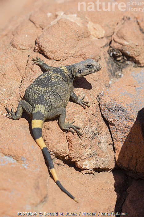 Common Chuckwalla (Sauromalus ater), southern Nevada, Adult, Color Image, Common Chuckwalla, Day, Desert, Full Length, Lizard, Nevada, Nobody, One Animal, Outdoors, Photography, Rear View, Sauromalus ater, Vertical, Wildlife,Common Chuckwalla,Nevada, USA, Donald M. Jones
