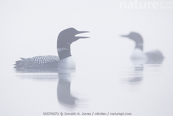 Common Loon (Gavia immer) pair with one calling, Troy, Montana, Adult, Calling, Color Image, Common Loon, Day, Fog, Full Length, Gavia immer, Horizontal, Mist, Moody, Montana, Nobody, Open Mouth, Outdoors, Photography, Side View, Troy, Two Animals, Water Bird, Wildlife,Common Loon,Montana, USA, Donald M. Jones