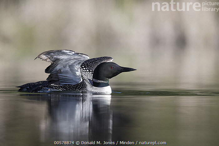 Common Loon (Gavia immer) stretching, Troy, Montana, Adult, Color Image, Common Loon, Day, Full Length, Gavia immer, Horizontal, Montana, Nobody, One Animal, Outdoors, Photography, Side View, Spreading Wings, Stretching, Troy, Water Bird, Wildlife,Common Loon,Montana, USA, Donald M. Jones