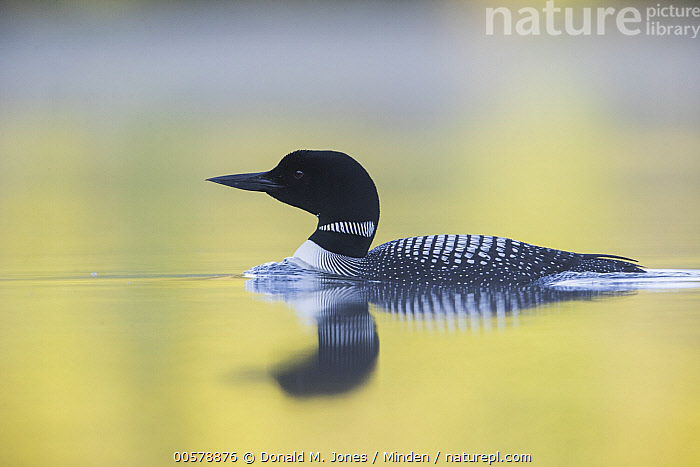 Common Loon (Gavia immer), Troy, Montana  ,  Adult, Color Image, Common Loon, Day, Full Length, Gavia immer, Horizontal, Montana, Nobody, One Animal, Outdoors, Photography, Reflection, Side View, Troy, Water Bird, Wildlife,Common Loon,Montana, USA  ,  Donald M. Jones