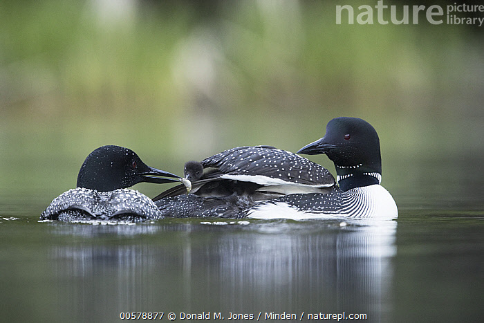 Common Loon (Gavia immer) parent bringing food to chick, Troy, Montana  ,  Adult, Baby, Bringing Food, Carrying, Chick, Color Image, Common Loon, Day, Family, Father, Feeding, Female, Full Length, Gavia immer, Horizontal, Male, Montana, Mother, Nobody, Outdoors, Parenting, Photography, Rear View, Side View, Three Animals, Troy, Water Bird, Wildlife,Common Loon,Montana, USA  ,  Donald M. Jones