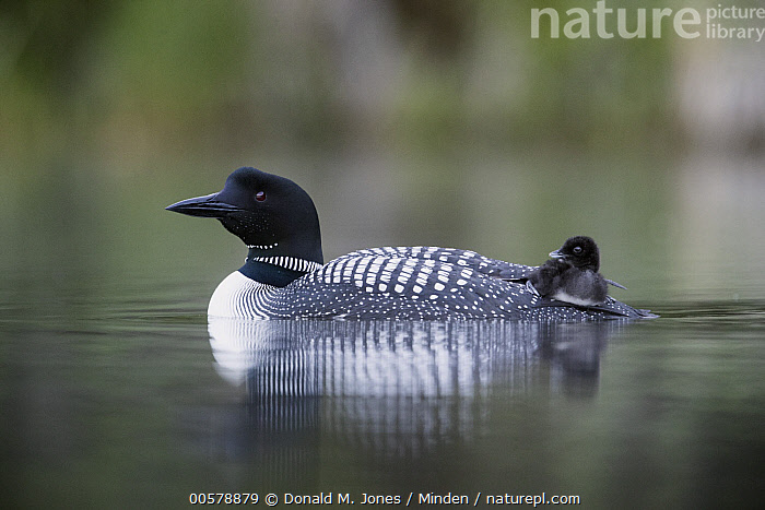 Common Loon (Gavia immer) parent carrying chick, Troy, Montana  ,  Adult, Baby, Carrying, Chick, Color Image, Common Loon, Day, Full Length, Gavia immer, Horizontal, Montana, Nobody, Outdoors, Parent, Parenting, Photography, Riding, Side View, Troy, Two Animals, Water Bird, Wildlife,Common Loon,Montana, USA  ,  Donald M. Jones
