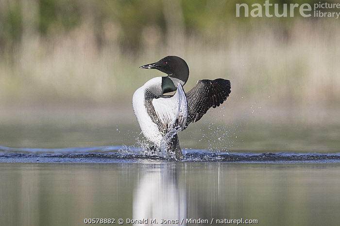 Common Loon (Gavia immer) stretching, Troy, Montana, Adult, Color Image, Common Loon, Day, Flapping, Full Length, Gavia immer, Horizontal, Montana, Nobody, One Animal, Outdoors, Photography, Side View, Spreading Wings, Stretching, Troy, Water Bird, Wildlife,Common Loon,Montana, USA, Donald M. Jones