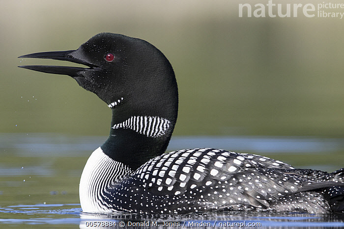 Common Loon (Gavia immer) calling, Troy, Montana  ,  Adult, Calling, Color Image, Common Loon, Day, Full Length, Gavia immer, Horizontal, Montana, Nobody, One Animal, Open Mouth, Outdoors, Photography, Side View, Troy, Water Bird, Wildlife,Common Loon,Montana, USA  ,  Donald M. Jones
