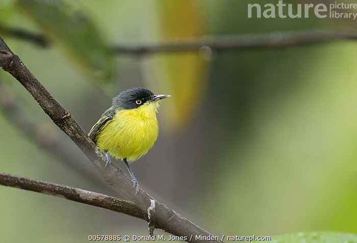 Common Tody-Flycatcher (Todirostrum cinereum), Costa Rica  ,  Adult, Color Image, Common Tody-Flycatcher, Costa Rica, Day, Full Length, Horizontal, Nobody, One Animal, Outdoors, Photography, Side View, Songbird, Todirostrum cinereum, Wildlife,Common Tody-Flycatcher,Costa Rica  ,  Donald M. Jones