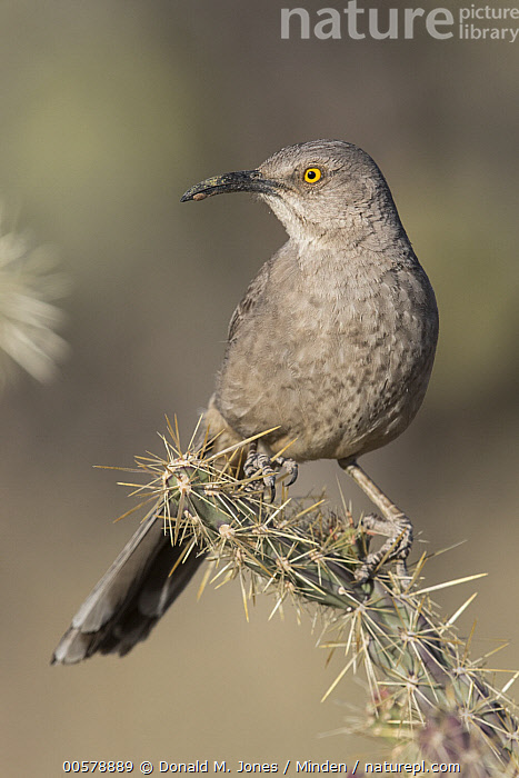 Curve-billed Thrasher (Toxostoma curvirostre), southern Arizona  ,  Adult, Arizona, Color Image, Curve-billed Thrasher, Day, Front View, Full Length, Nobody, One Animal, Outdoors, Photography, Songbird, Toxostoma curvirostre, Vertical, Wildlife,Curve-billed Thrasher,Arizona, USA  ,  Donald M. Jones