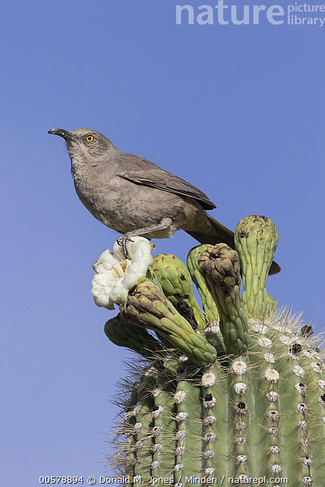 Curve-billed Thrasher (Toxostoma curvirostre), southern Arizona, Adult, Arizona, Cactus, Color Image, Curve-billed Thrasher, Day, Flower, Full Length, Low Angle View, Nobody, One Animal, Outdoors, Photography, Side View, Songbird, Toxostoma curvirostre, Vertical, Wildlife,Curve-billed Thrasher,Arizona, USA, Donald M. Jones