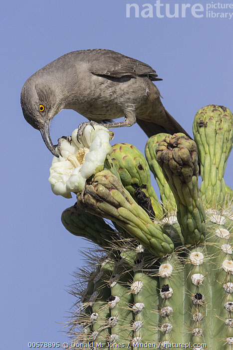 Curve-billed Thrasher (Toxostoma curvirostre) feeding on cactus flower nectar, southern Arizona, Adult, Arizona, Cactus, Color Image, Curve-billed Thrasher, Day, Feeding, Flower, Full Length, Low Angle View, Nectar, Nobody, One Animal, Outdoors, Photography, Side View, Songbird, Toxostoma curvirostre, Vertical, Wildlife,Curve-billed Thrasher,Arizona, USA, Donald M. Jones