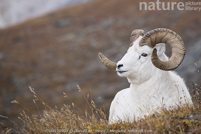Dall's Sheep (Ovis dalli) ram, Denali National Park, Alaska  ,  Adult, Alaska, Color Image, Dall's Sheep, Day, Denali National Park, Front View, Full Length, Horizontal, Male, Nobody, One Animal, Outdoors, Ovis dalli, Photography, Ram, Wildlife,Dall's Sheep,Alaska, USA  ,  Donald M. Jones