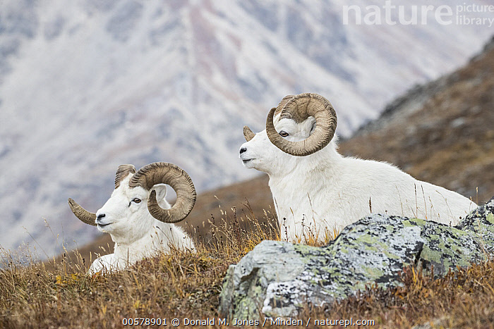 Dall's Sheep (Ovis dalli) rams, Denali National Park, Alaska  ,  Adult, Alaska, Color Image, Dall's Sheep, Day, Denali National Park, Full Length, Horizontal, Male, Nobody, Outdoors, Ovis dalli, Photography, Ram, Side View, Two Animals, Wildlife,Dall's Sheep,Alaska, USA  ,  Donald M. Jones