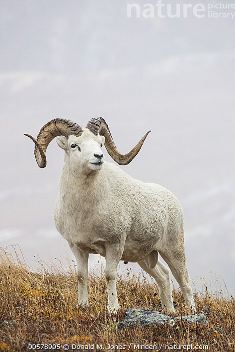 Dall's Sheep (Ovis dalli) ram, Denali National Park, Alaska  ,  Adult, Alaska, Color Image, Dall's Sheep, Day, Denali National Park, Full Length, Male, Nobody, One Animal, Outdoors, Ovis dalli, Photography, Ram, Side View, Vertical, Wildlife,Dall's Sheep,Alaska, USA  ,  Donald M. Jones