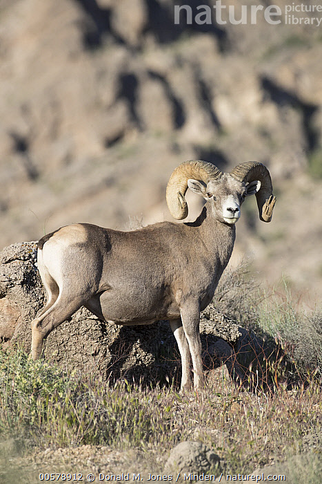 Nature Picture Library Desert Bighorn Sheep Ovis Canadensis Nelsoni Ram Southern Nevada Donald M Jones