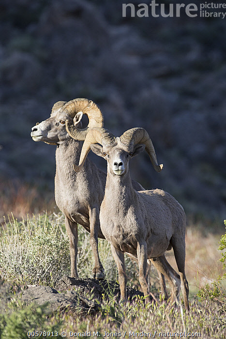 Desert Bighorn Sheep (Ovis canadensis nelsoni) rams, southern Nevada  ,  Adult, Color Image, Day, Desert Bighorn Sheep, Front View, Full Length, Looking at Camera, Nevada, Nobody, Outdoors, Ovis canadensis nelsoni, Photography, Ram, Side View, Two Animals, Vertical, Wildlife,Desert Bighorn Sheep,Nevada, USA  ,  Donald M. Jones