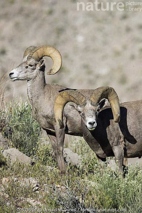 Desert Bighorn Sheep (Ovis canadensis nelsoni) rams, southern Nevada, Adult, Color Image, Day, Desert Bighorn Sheep, Full Length, Looking at Camera, Male, Nevada, Nobody, Outdoors, Ovis canadensis nelsoni, Photography, Ram, Side View, Two Animals, Vertical, Waist Up, Wildlife,Desert Bighorn Sheep,Nevada, USA, Donald M. Jones